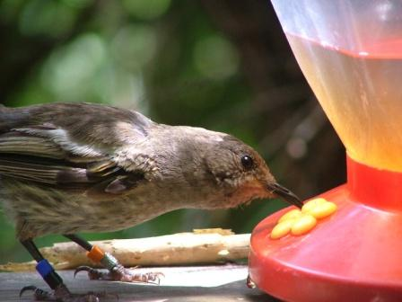 female hihi at feeder_Patricia Brekke